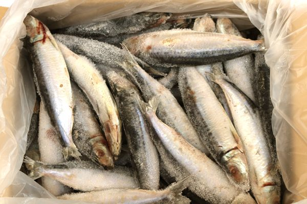 Pilchards IQF 4kg Box